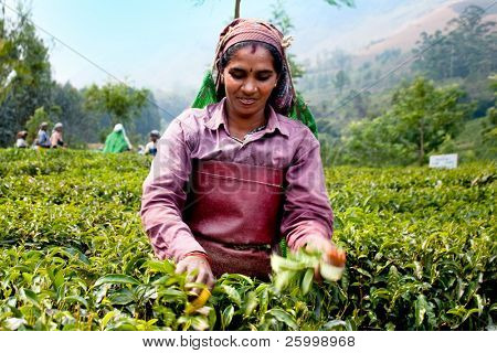 MUNNAR, INDIA - FEBRUARY 13 : Woman picking tea leaves in a tea plantation, February 13. 2009. Munnar, Kerala, India.