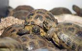 "stock photo of russian tortoise  - ""russan tortoise"" ""Testudo horsfieldii"" ""Agrionemys horsfieldii"" sit upon each other in - JPG"