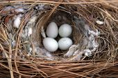 four (4) House Sparrow(Passer Domesticus) eggs lay in their nest close up