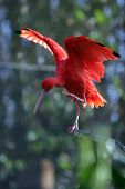 "pic of scarlet ibis  - ""Scarlet Ibis""  ""Eudocimus ruber"" streches its wings on a branch - JPG"