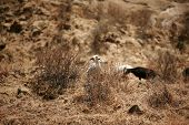 image of pygmy goat  - Goats hanging out on a hill - JPG