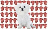 a purebred bichon frise sits infront of a wall of raw meat isolated on white poster