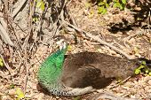 foto of peahen  - a female peacock aka a Peahen hides in some brush - JPG