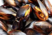 Frozen Mussel In The Shell. Freshly-frozen Mussels In Shells Close-up. The Mussel In The Sink Is Rea poster