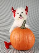 stock photo of bichon frise dog  - Fifi the Purebred Bichon Frise smiles as she modesl in her DEVIL DOG costume with her pumpkin against a black and white background - JPG