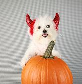 stock photo of she devil  - Fifi the Purebred Bichon Frise smiles as she modesl in her DEVIL DOG costume with her pumpkin against a black and white background - JPG