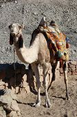 picture of camel-cart  - Arabian camel or Dromedary  - JPG