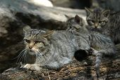 European wildcat (Felis silvestris silvestris) with a kitten