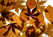 Texture from leaves of Silver (Acer saccharinum) and Japanese (Acer palmatum) maples and European beech (Fagus sylvatica) poster
