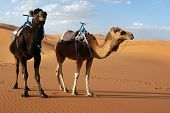picture of hump day  - Arabian camels or Dromedaries  - JPG