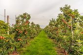 Espaliered Fruit Trees With Harvest Ripe Red Apples In A Modern Dutch Apple Orchard At The End Of Th poster