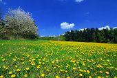 foto of cherry trees  - Beautiful spring landscape with blooming yellow dandelions and cherry tree - JPG