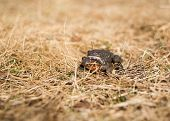 Постер, плакат: Pair Of Far Eastern Toads In Process Of Reproduction Nature Spring Reproduction Theme