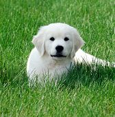 Pure Bred Pedigree English White Retriever Puppy Sat In A Green Field