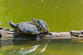 stock photo of copulation  - Two copulating turtles on a tree in water - JPG