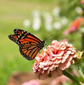 picture of zinnias  - Monarch butterfly on pink Zinnia - JPG