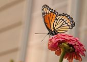 Beautiful Viceroy butterfly feeding on a pink Zinnia