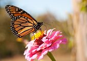 foto of butterfly flowers  - Migrating Monarch butterfly refueling on a bright pink Zinnia flower - JPG
