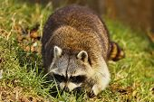 Raccoon (procyon Lotor) On The Meadow ,evening On The Meadow Looking For Food.wildlife Scene From So poster