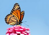 pic of zinnias  - Brilliant Viceroy butterfly feeding on a bright pink Zinnia against blue skies - JPG