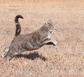 Постер, плакат: Красивый голубой табби кошка вскочив во время работы в трава сухая зима