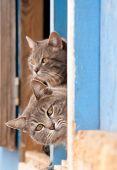 picture of blue tabby  - Two beautiful blue tabby cats peeking out of a barn door - JPG