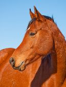 picture of brown horse  - Profile of a beautiful red bay Arabian horse against clear blue sky - JPG
