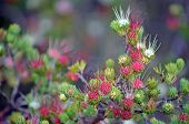 Red, Pink, White Flowers Of The Australian Native Clustered Scent Myrtle, Darwinia Fascicularis, Gro poster