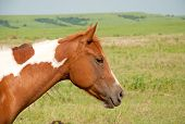 Young chestnut and white paint horse in prairie pasture