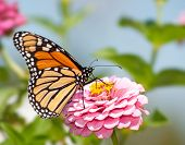 stock photo of zinnias  - Monarch butterfly feeding flower nectar on a pink Zinnia in summer garden - JPG