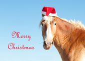 stock photo of horse wearing santa hat  - Belgian Draft horse wishing Merry Christmas as Santa - JPG