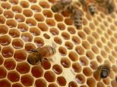 pic of honey bee hive  - Working bees - JPG