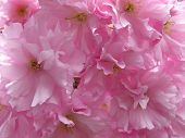 Prunus yedoensis or Japanese cherry-tree close-up