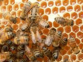 foto of honey bee hive  - New honey cells and working bees - JPG