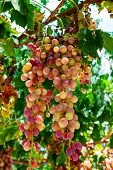Juicy ripe bunch of grapes pink Muscat .The vineyards of Greece. poster