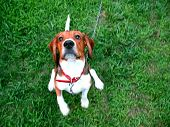 foto of droopy  - A cute purebred beagle in the process of sitting pretty or giving its paw - JPG
