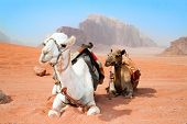 Camels take a rest in Wadi Rum red desert, Jordan