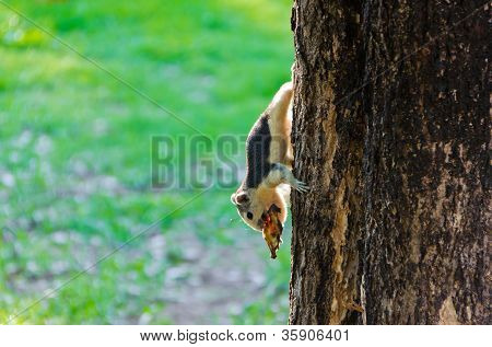 Squirrel Eating A Dry Fruit On The Tree