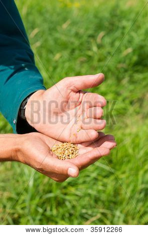 Hand Holding Wheat
