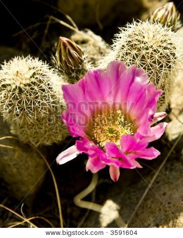 Hedgehog Cactus In Bloom