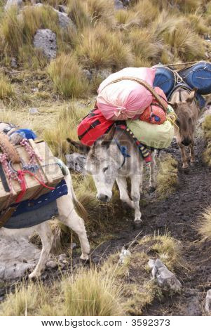 Mule Train, Carrying Loads In High Mountains