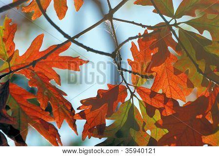 Autumn Oak.