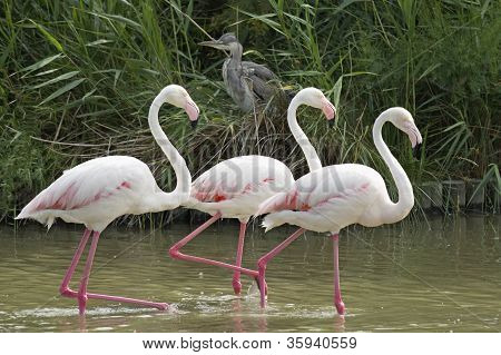 Three Flamingos Walking In A Lake.