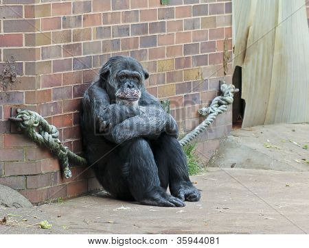 A Zoo Chimp Sits Alone In Contemplation