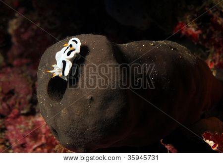 Chromodoris Dianae