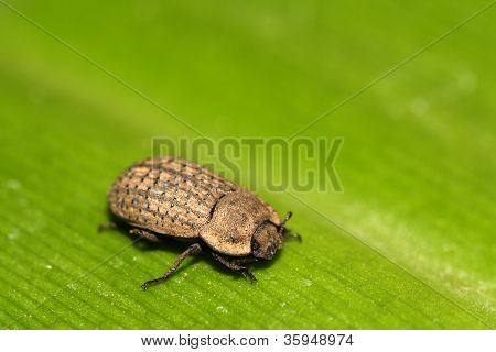 A Kind Of Coleoptera Beetles