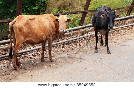 Two Old And Weak Cows Looking Hungry, Weak And Unhealthy Standing By The Roadside Near Western Ghats