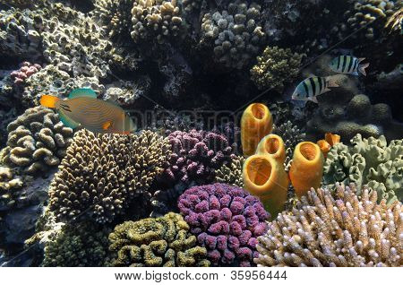 Yellow Tube Sponges And Orange-striped Triggerfish