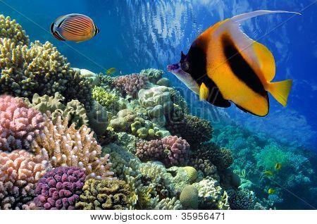 Pennant Coralfish (heniochus Acuminatus) Or Bannerfish