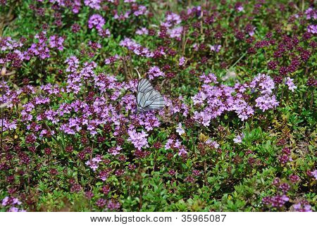Close-up Image Of Butterfly On Thyme Flowers